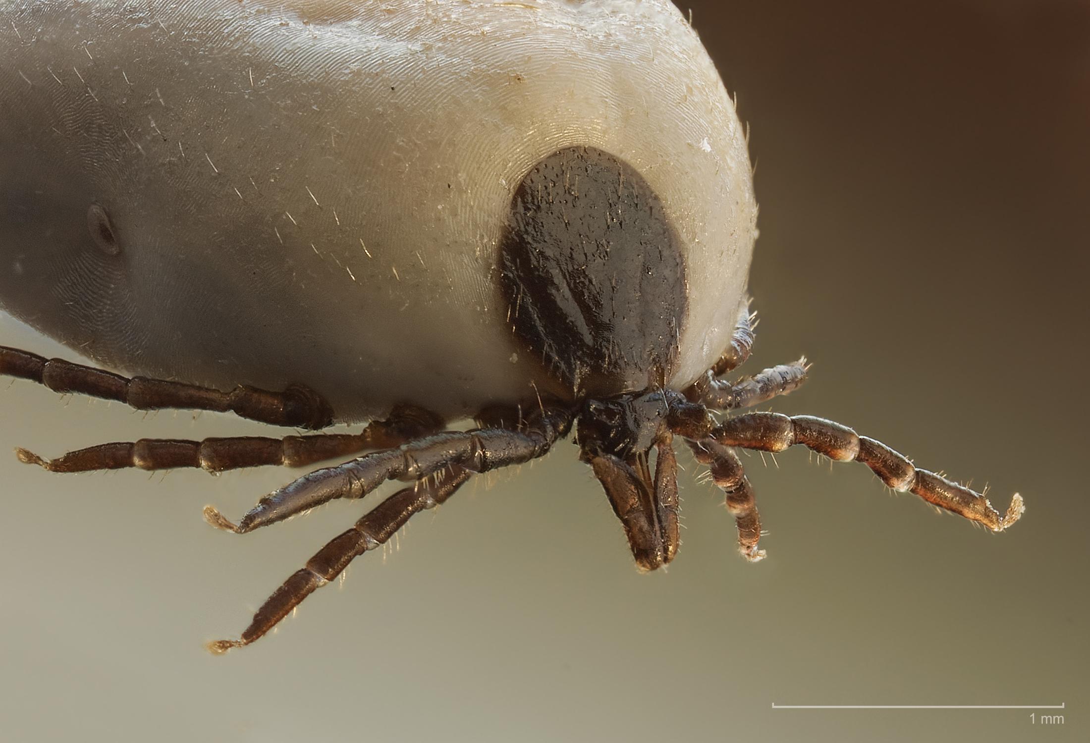 Ixodus ricinus  Photo: Richard Bartz