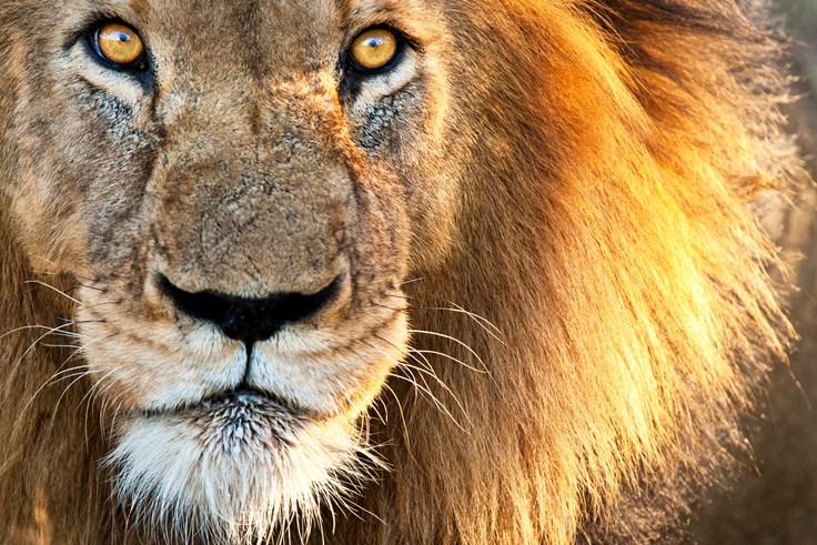 little-known-lion-fact.jpg