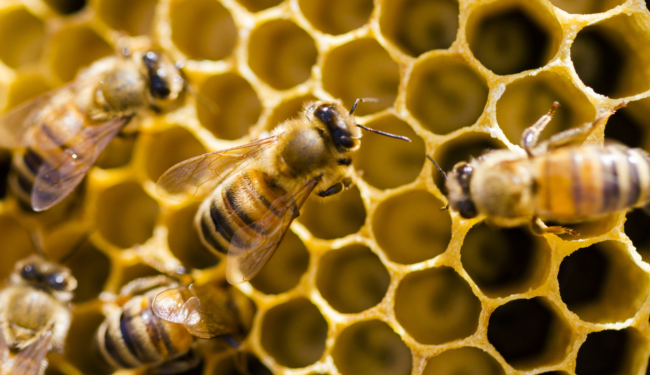 Animal Extended Phenotypes also include: bee honeycomb, beaver dams, and bird nests . Photo: unknown