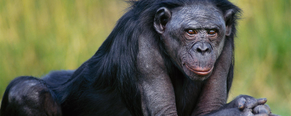 Bonobo ( Pans paniscus )   Photo: Frans Lanting/Getty Images