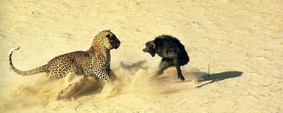 Leopard confronts a baboon, Botswana   Photo: John Dominis for Time/Life (1966)