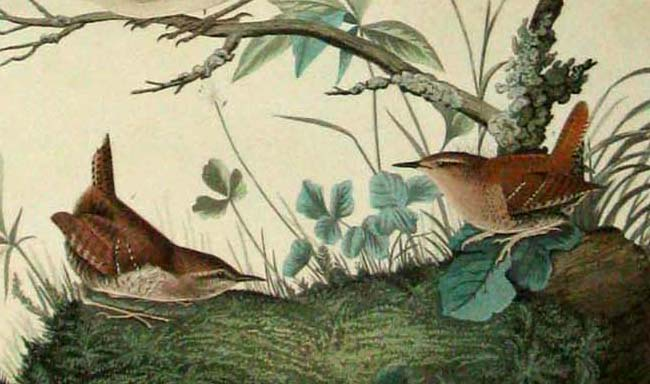 A Detail of the Delightful Wrens in Plate 72