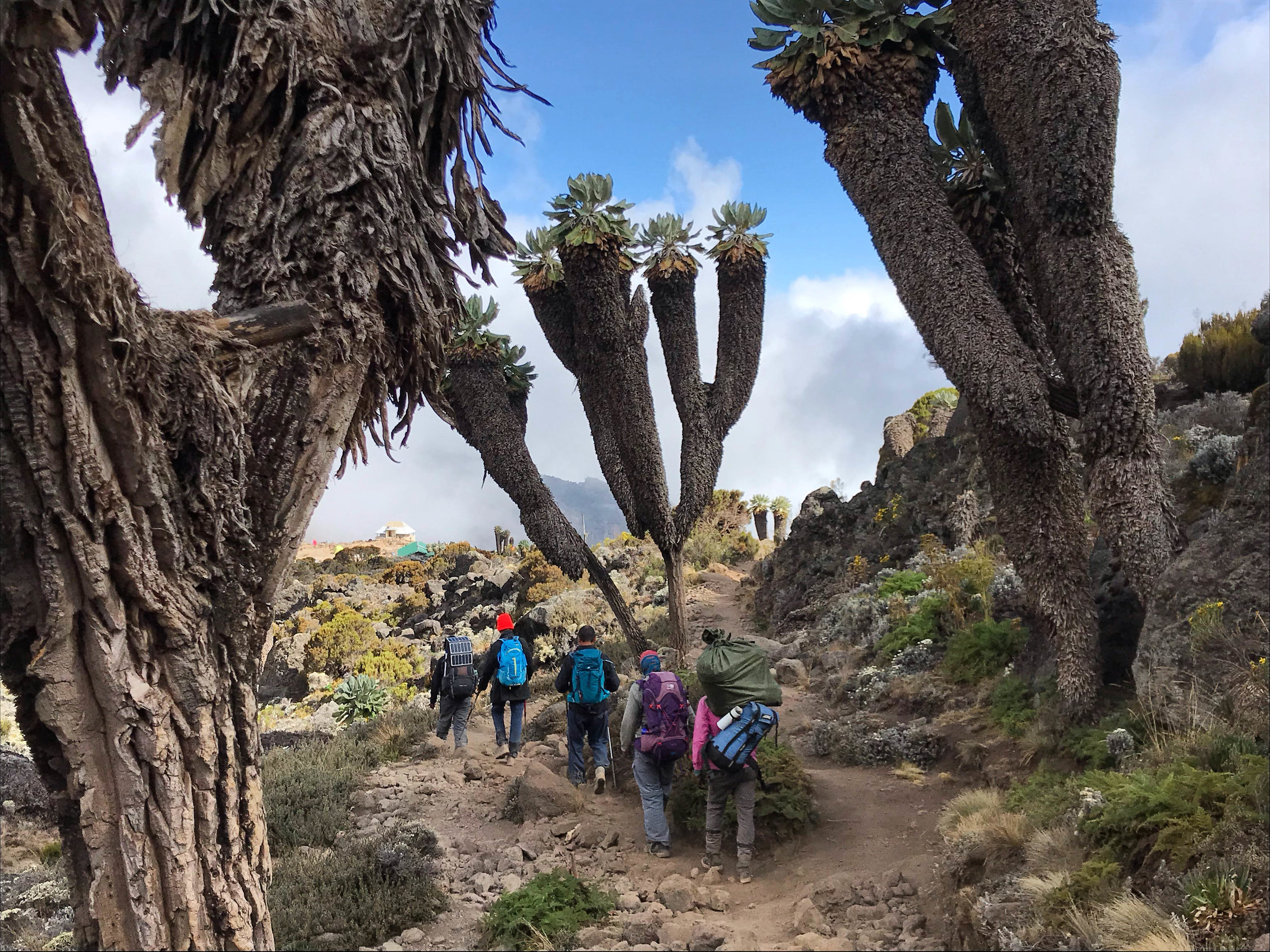 Other hikers on the trail heading into Barranco Camp surrounded by giant groundsel trees. This particular tree is only found on Mt Kilimanjaro and only above about 14,000 ft.