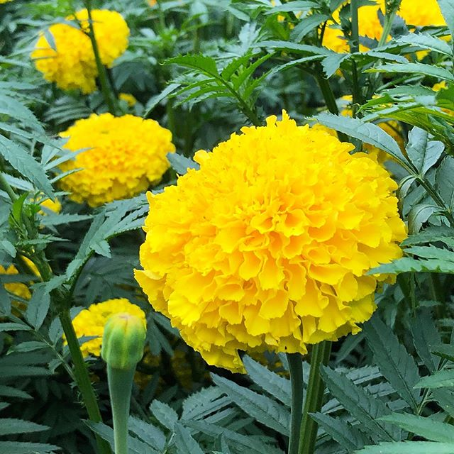 Gargantuas marigolds grown for a trial program with the Association of Specialty Cut Flower Growers...the Coco series #ascfg #charlestonslowflowers #slowflowers