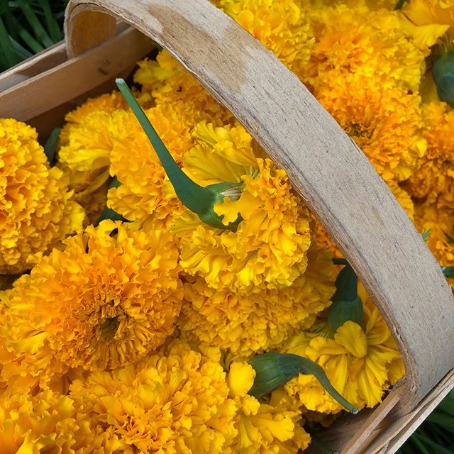 A basket of marigolds soon to be transformed into a coat of banquet table color... #slowflowers #charlestonslowflowers #ascfg