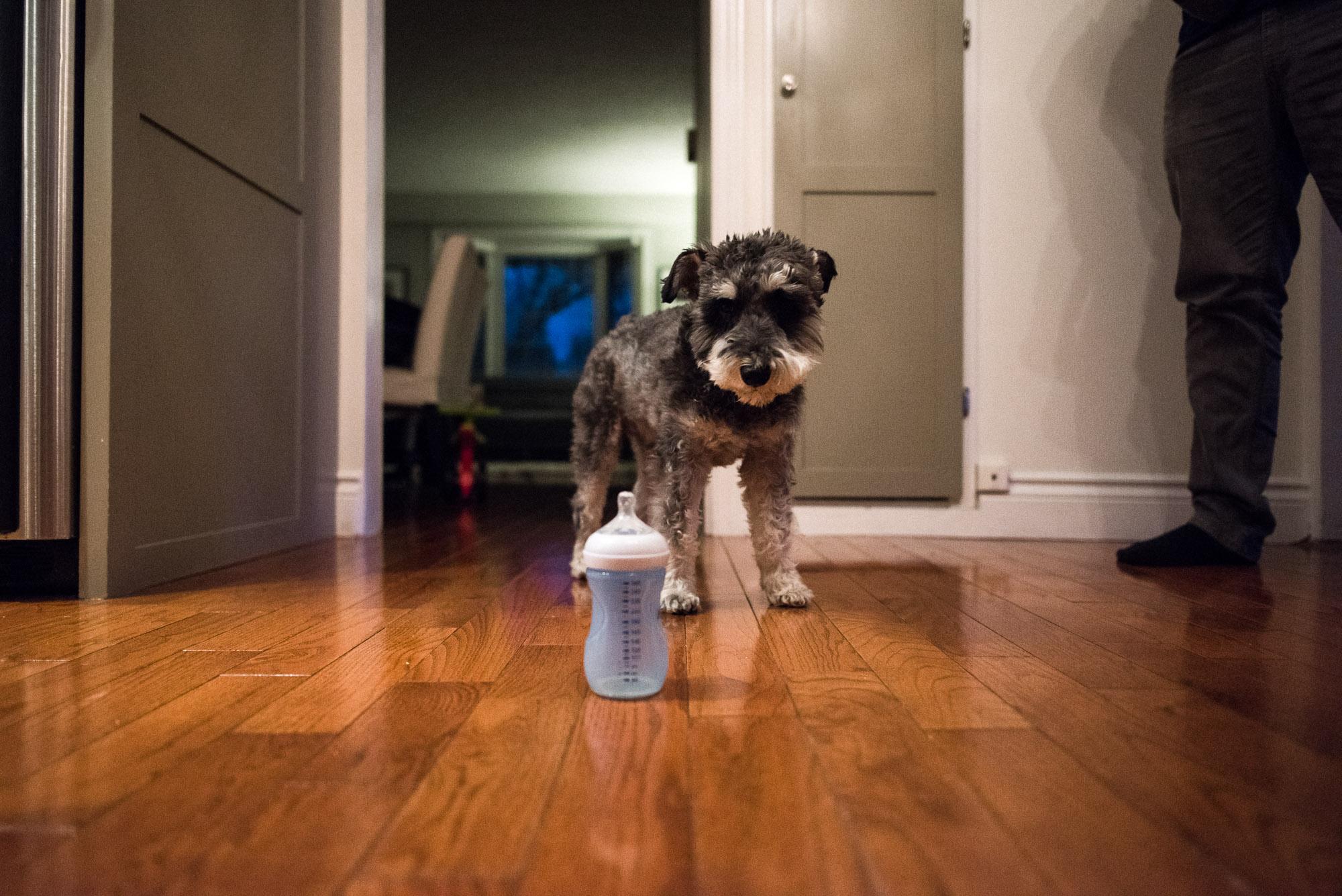 dog looks at baby bottle on the kitchen floor