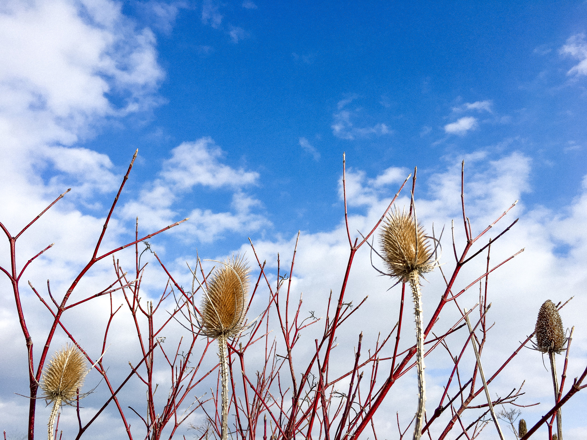 blue sky and thistle in ontario