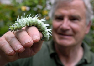 giant-atlas-moth-caterpillars-source-cambstimes-co-uk.jpg
