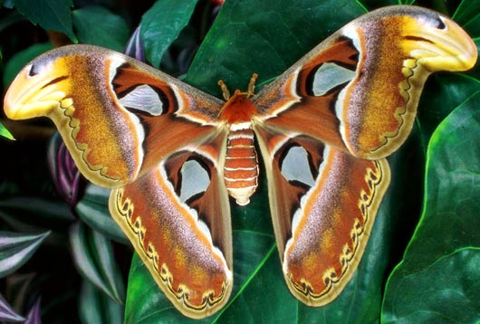 atlas-moth.jpg