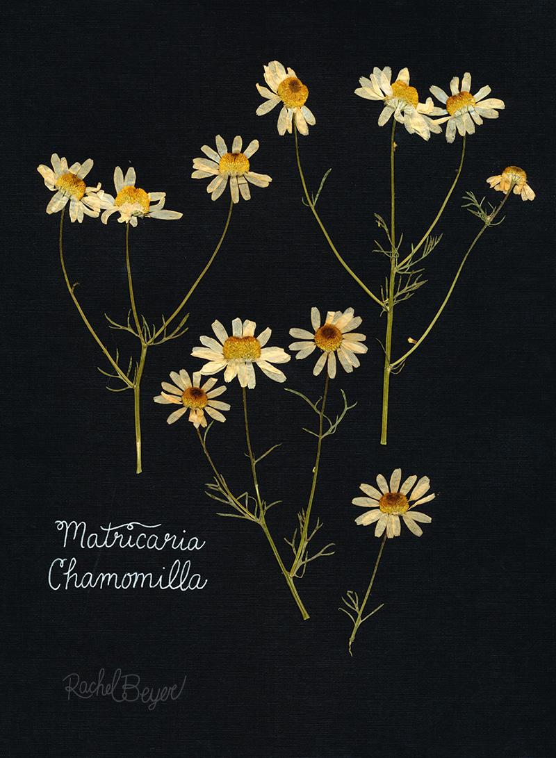 chamomile-2.jpg