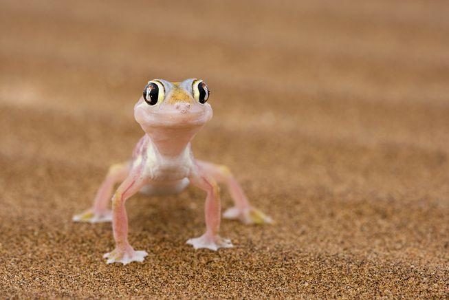 gecko-on-sand.jpg.653x0_q80_crop-smart.jpg