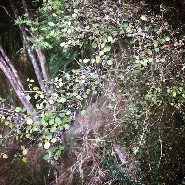Mingimingi in season #nativeberries #aotearoa #bushwalk