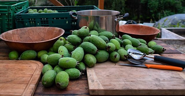 Ready, set...preserve! It's nearly the end of the fabulous feijoa season, so we are making sure that the the pantry is stocked with feijoa and chutney for the rest of the year. #feijoa #nzlife #homesteading