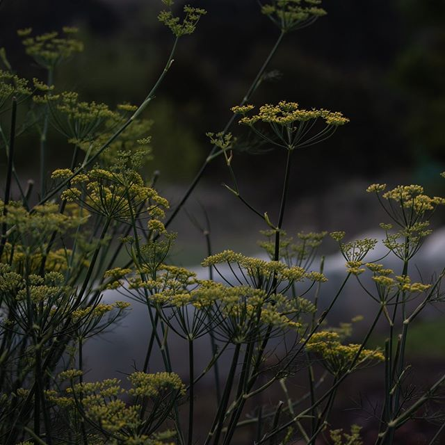 Fennel flowers have become an important staple of our edible flower range. Pretty and absolutely delicious, we let the go wild in the garden and add them also to flower bouquets. #fennel #organicgardening #edibleflowers