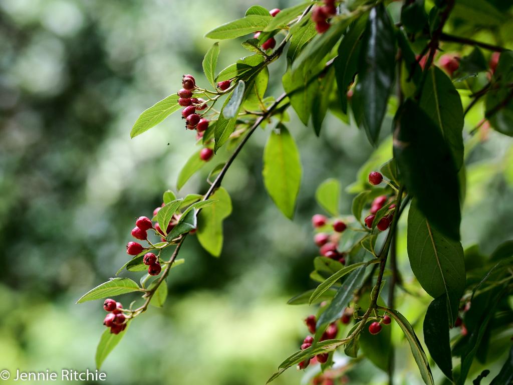 Berries of Autumn