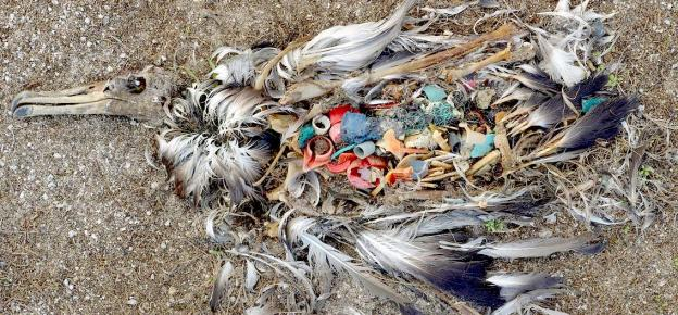 a bird that passed, filled with plastic from a plastic ocean film