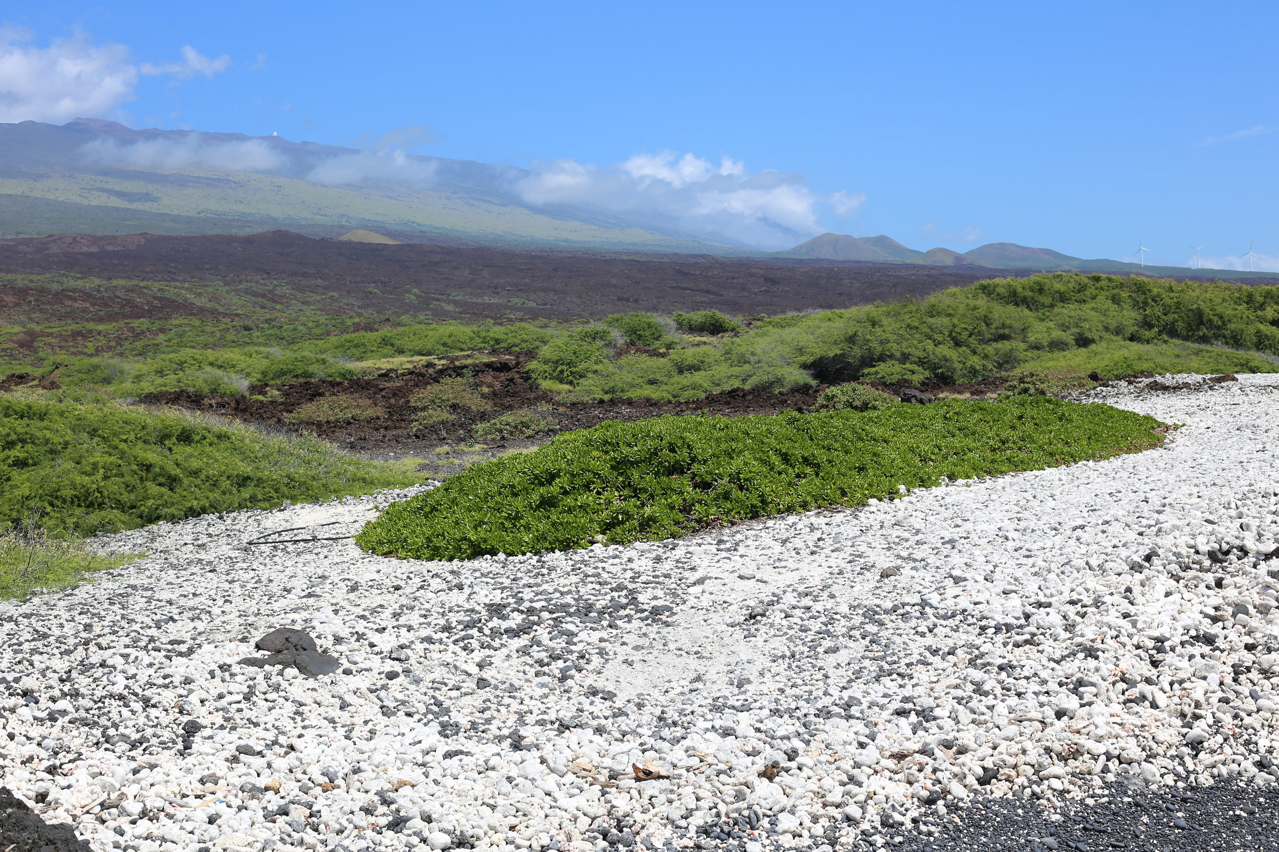 A VIEW FROM A BEACH NEAR OUR FARMS. IF YOU LOOK AT THE UPPER RIGHT SIDE OF PHOTO,JUST ABOVE THE LAVA FIELD IN THE DARKER GREEN AREA BEFORE THE LIGHT GREEN AREA ,YOU WILL BE AT OUR MAUI CBD FARMS. PRISTINE HAWAII