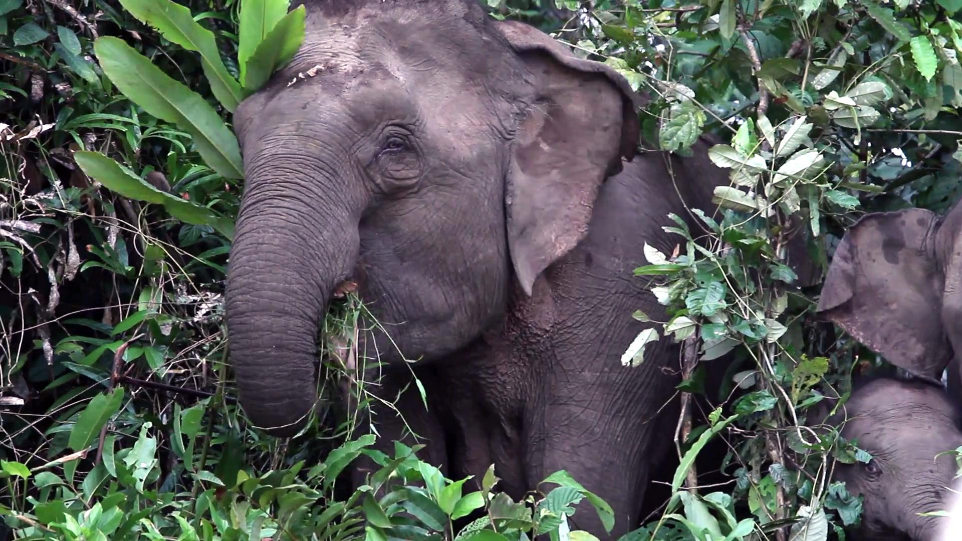 borneo-pygmy-elephant-in-the-bornean-rainforest_bcm17ahjx_thumbnail-full01 copy.jpg