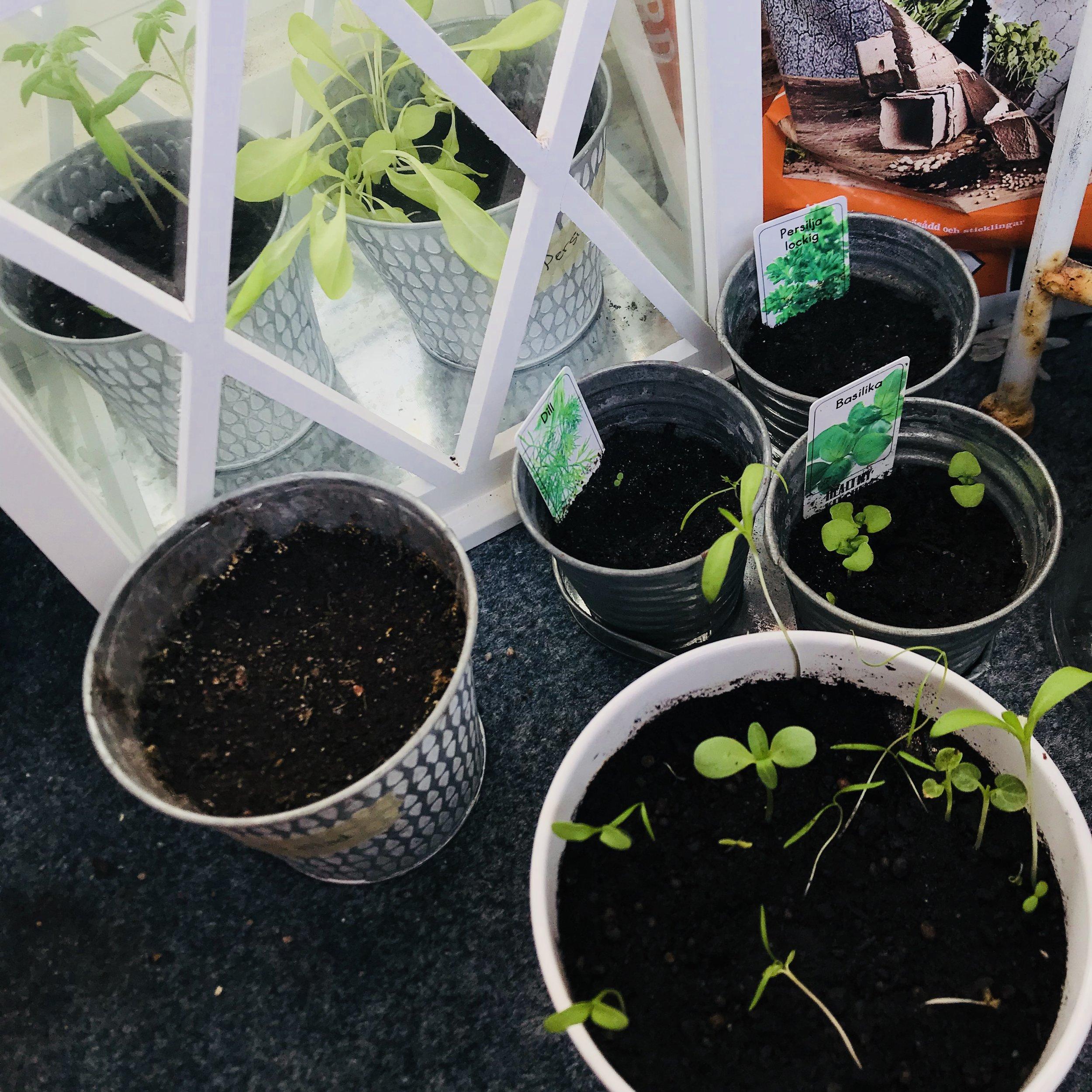 Persilja, basilika, tomat, spenat, dill och citronmeliss! 🌱