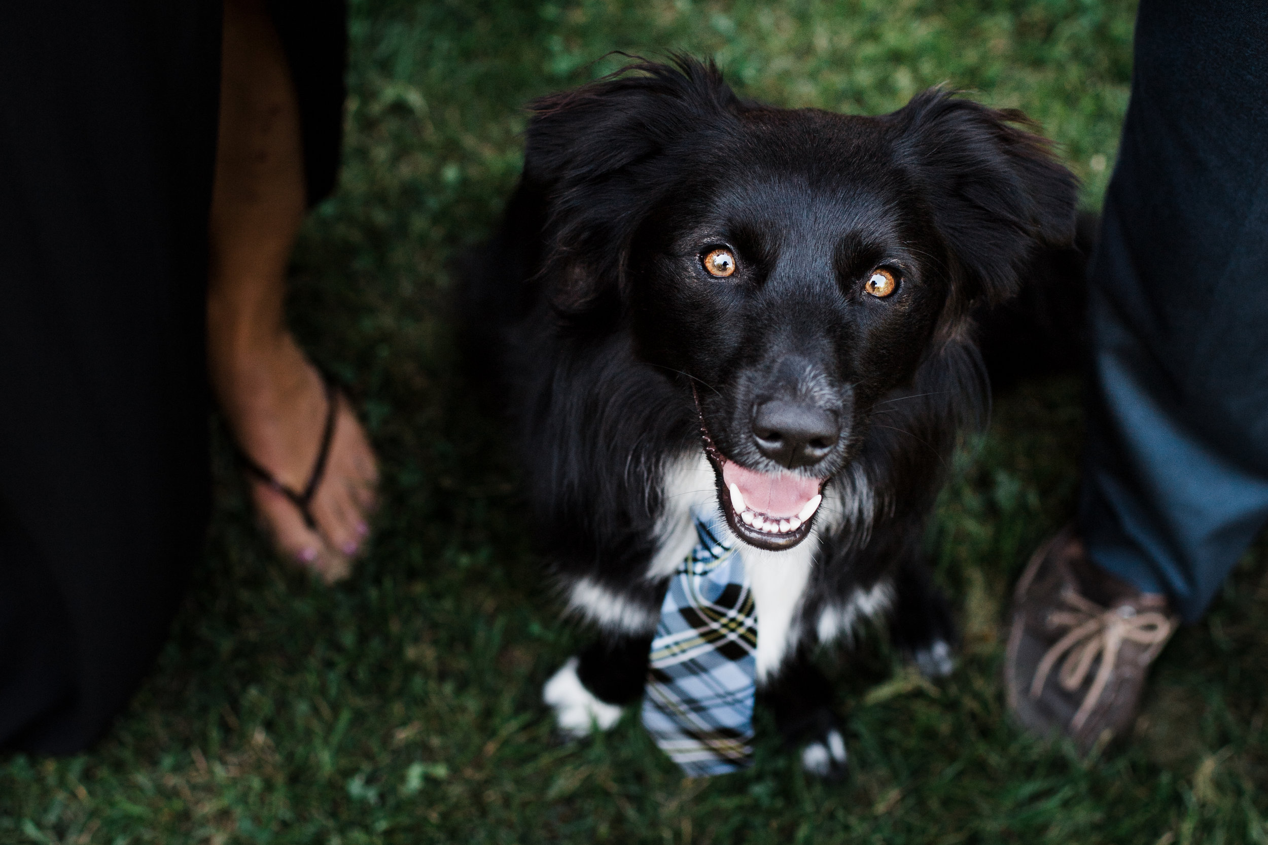 Back dog with bright brown eyes smiles while wearing a blue plaid tie.