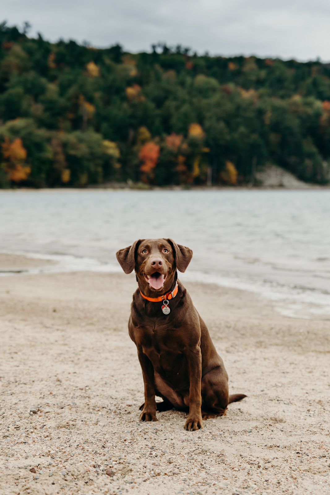 Chocolate lab dog sits pretty on the beach at Devil's Lake State Park in Baraboo, WI.