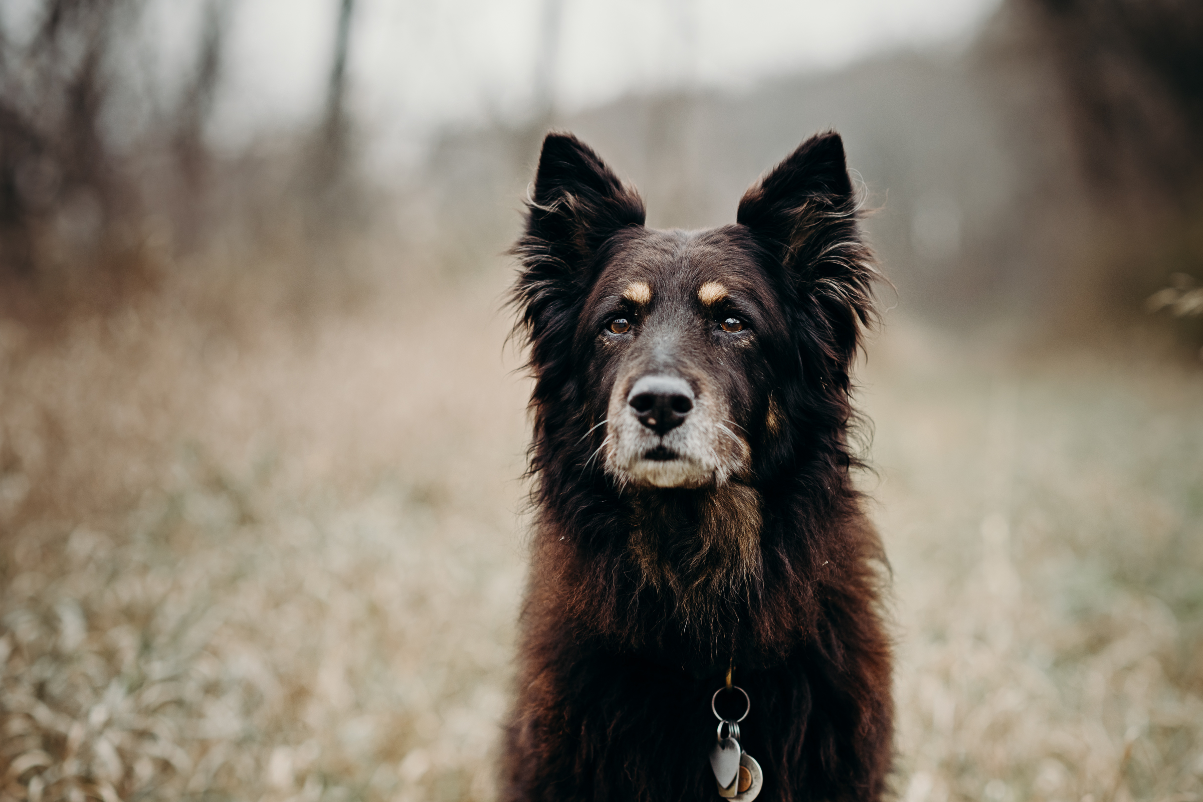 Dulcy, the 16 year old long haired black collie mix.