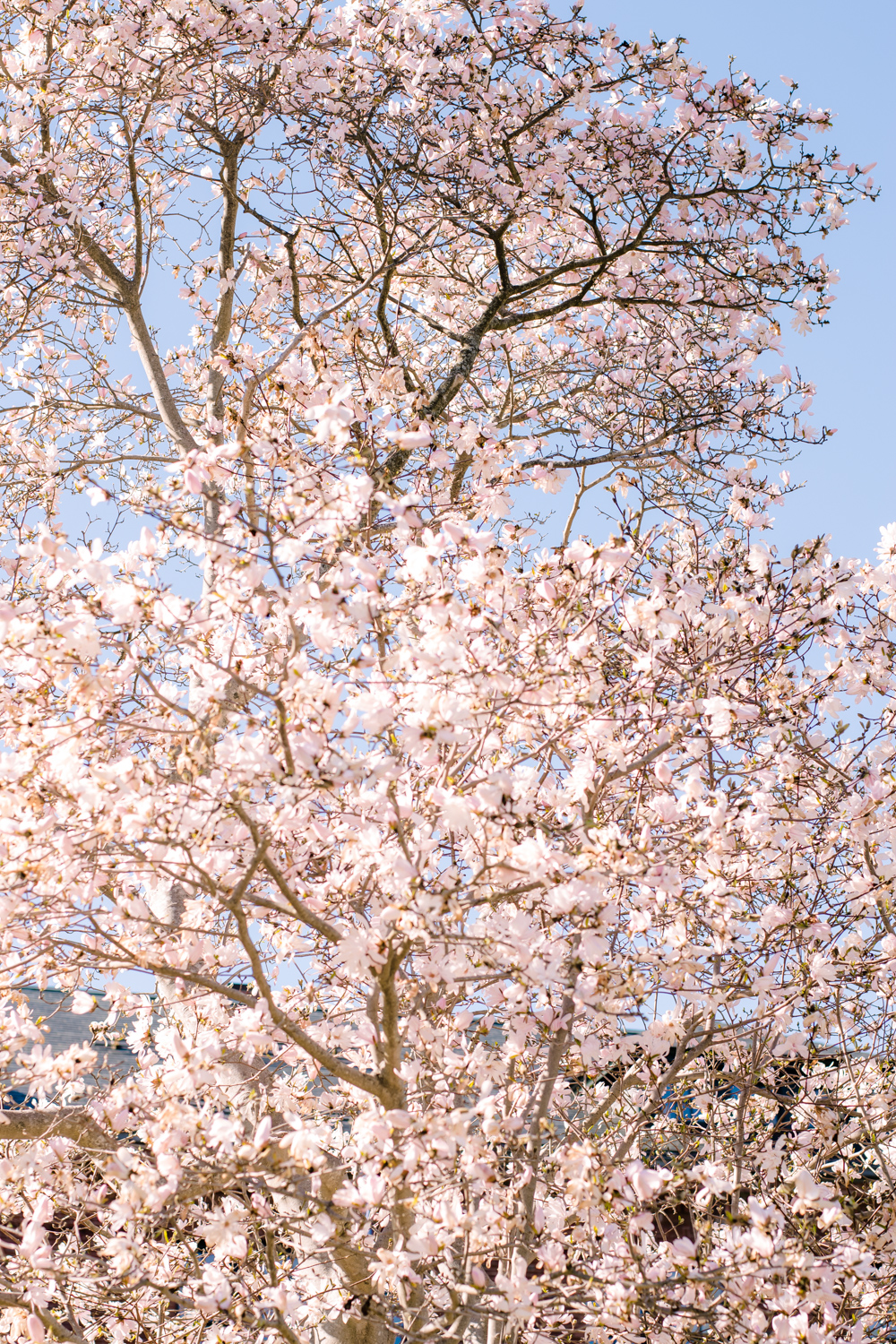 Cherry Blossoms at Arnold Aboretum Jamaica Plain Boston (8 of 1).JPG