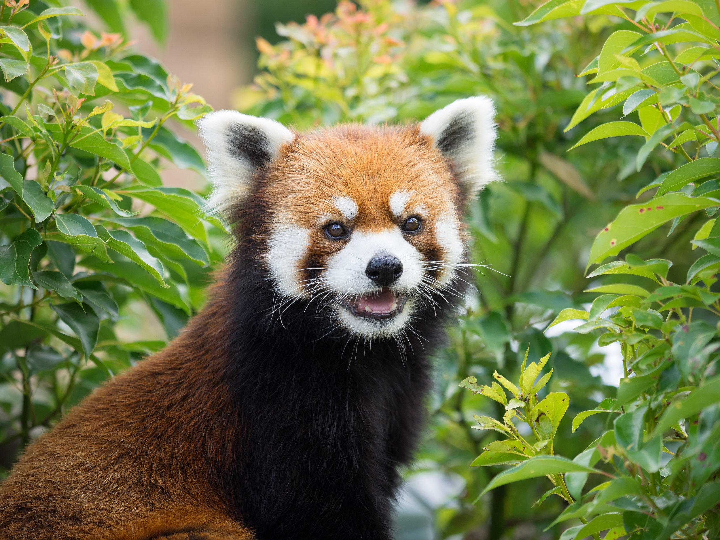 Again, there are actually no available stock photos for 'tech people in their 50s and 60s' - which demonstrates the problem I'm spelling out here. So, here's another red panda.