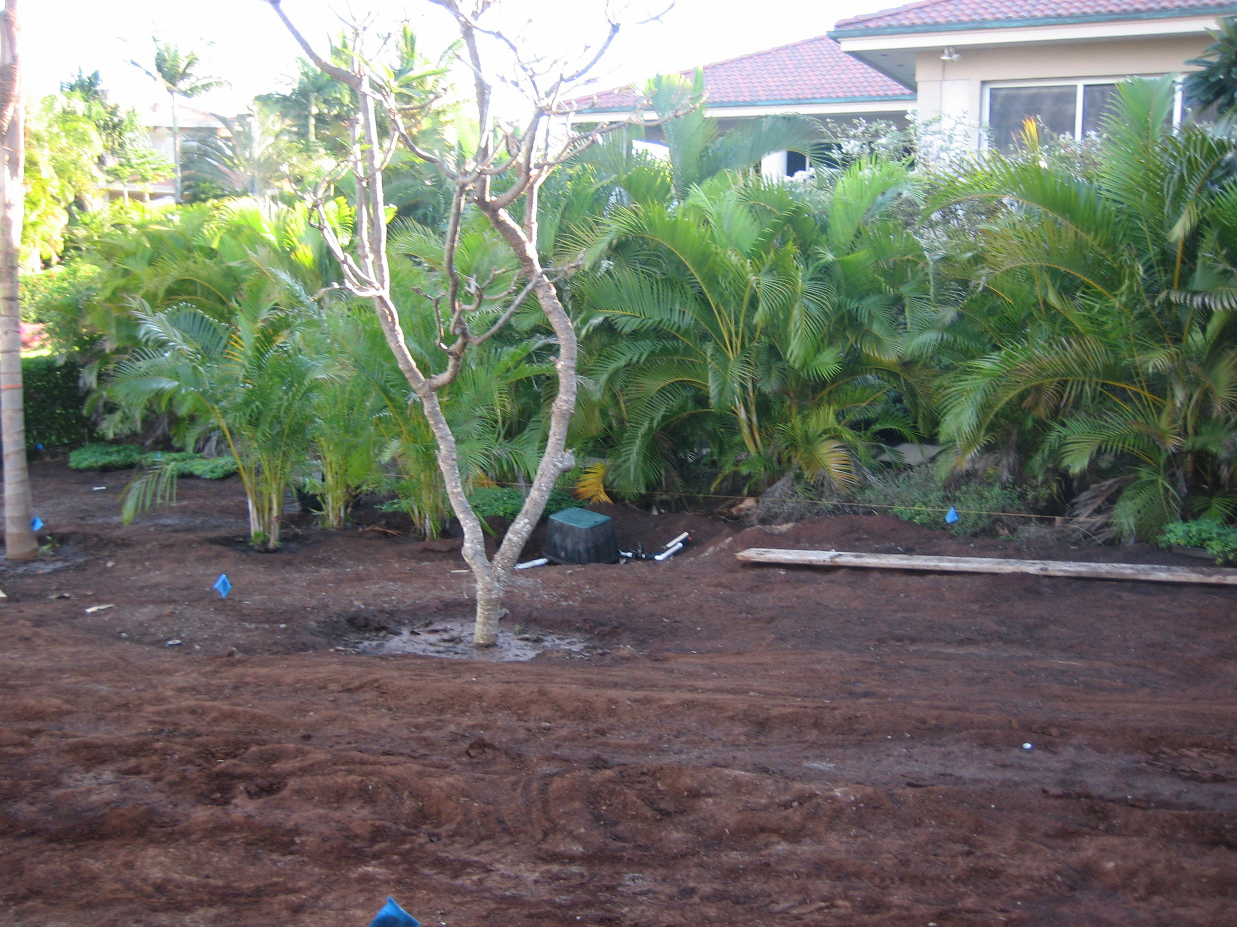 Plumeria Planting.jpg