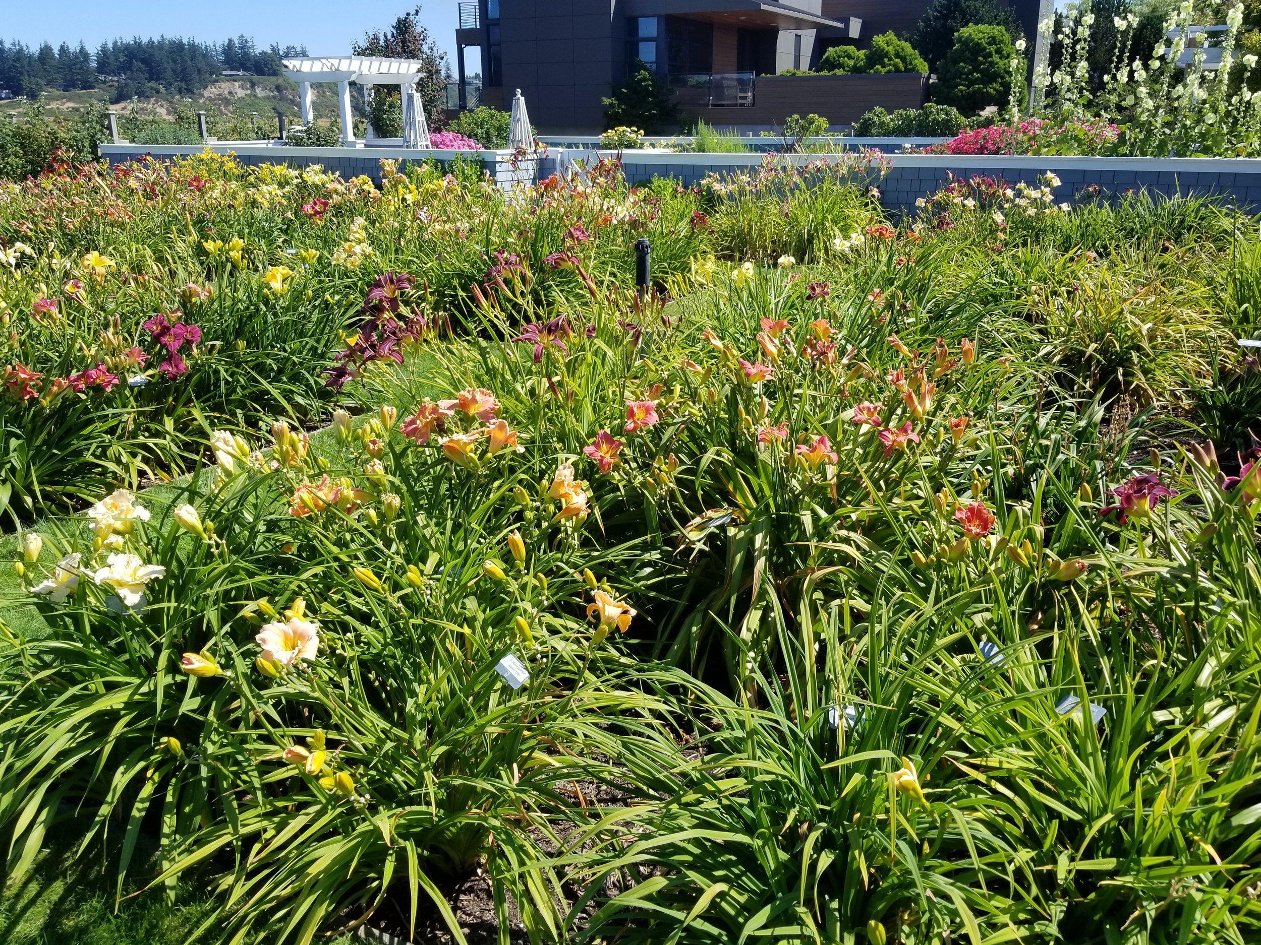 Daylilies Blooming.jpg