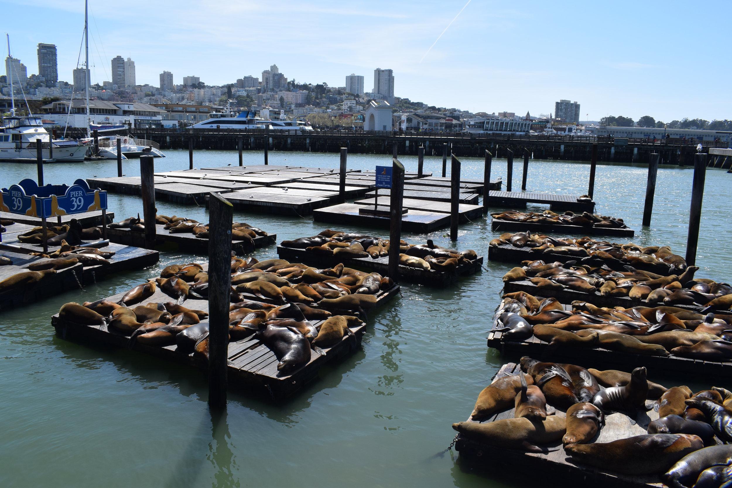 Seals San Francisco Pier 39