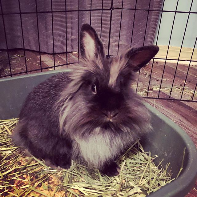 She's the only one of our little Lionhead family that still looks like a lion :) #rabbitsofinstagram