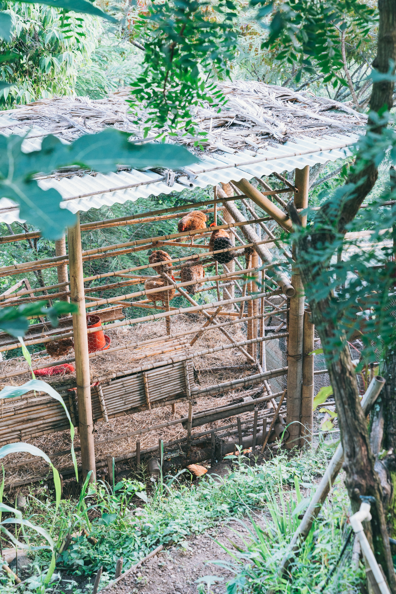 Chickens at the Yoga Forest