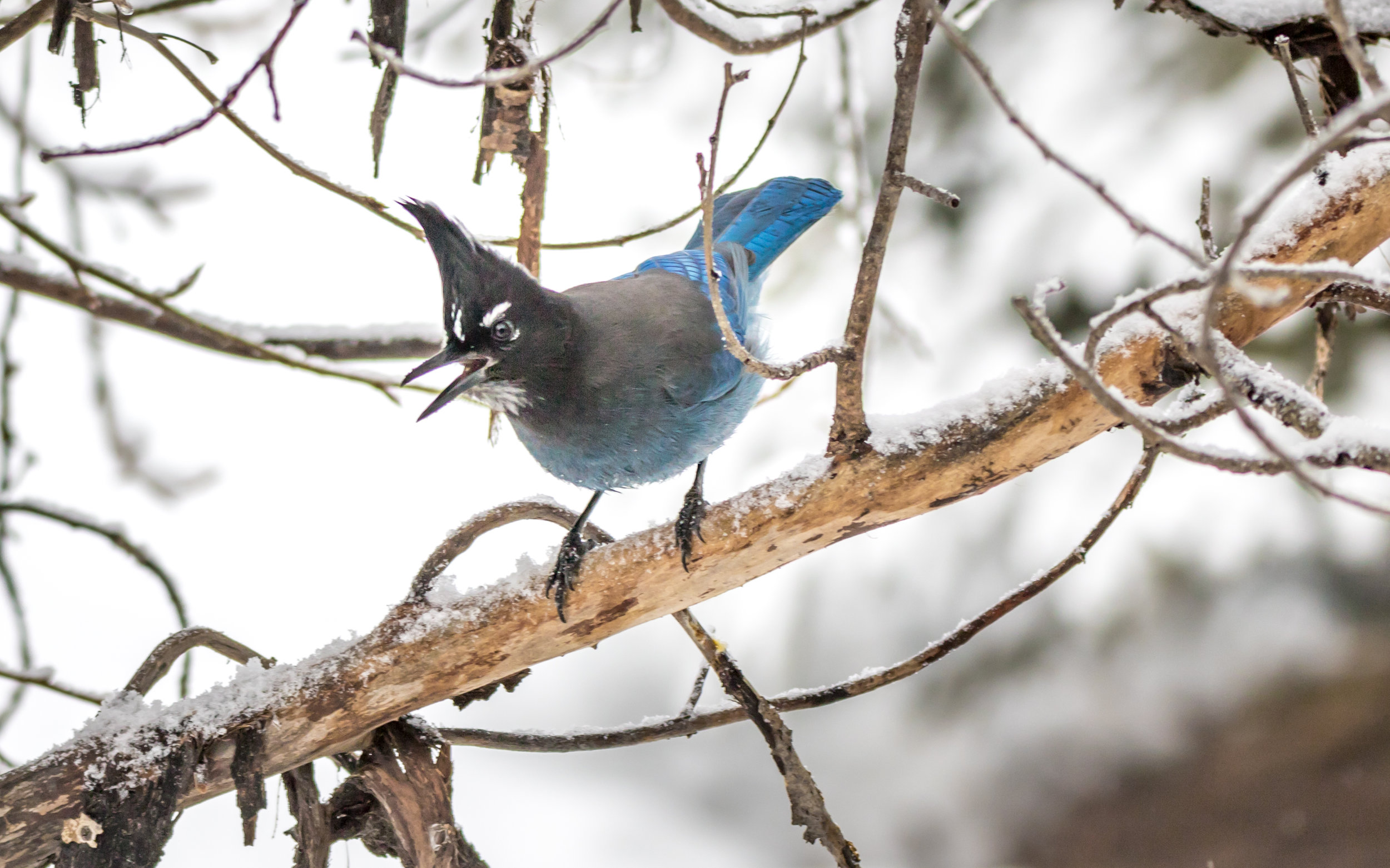 Photography - Winter Steller's Jay