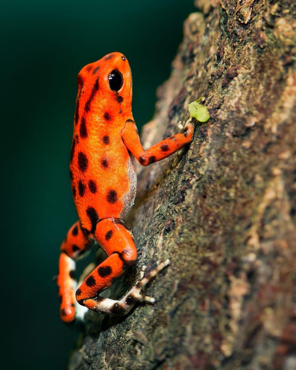 La rana venenosa del bosque tropical es una especie amenazada y un buen ejemplo de los organismos que se benefician de las discusiones y planes de acción llevados a cabo en conferencias como la COP13