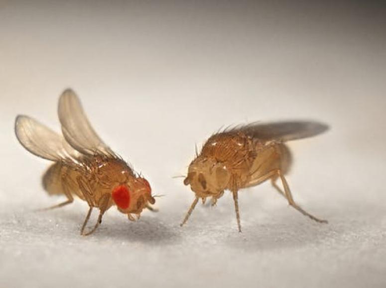 Drosophila melanogaster , con ojos rojos silvestres y con variante 'white'. Foto: Joe Limbo