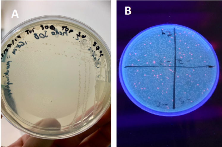 Imagen 4. Bacterias antes y después de ser transformadas. Fuente:  https://2019.igem.org/Team:TecMonterrey_GDL