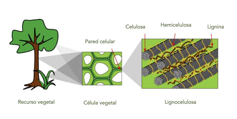 Imagen 2. Componentes de la biomasa lignocelulósica. Dibujado con información de  Vasco-Correa et al., 2016 .