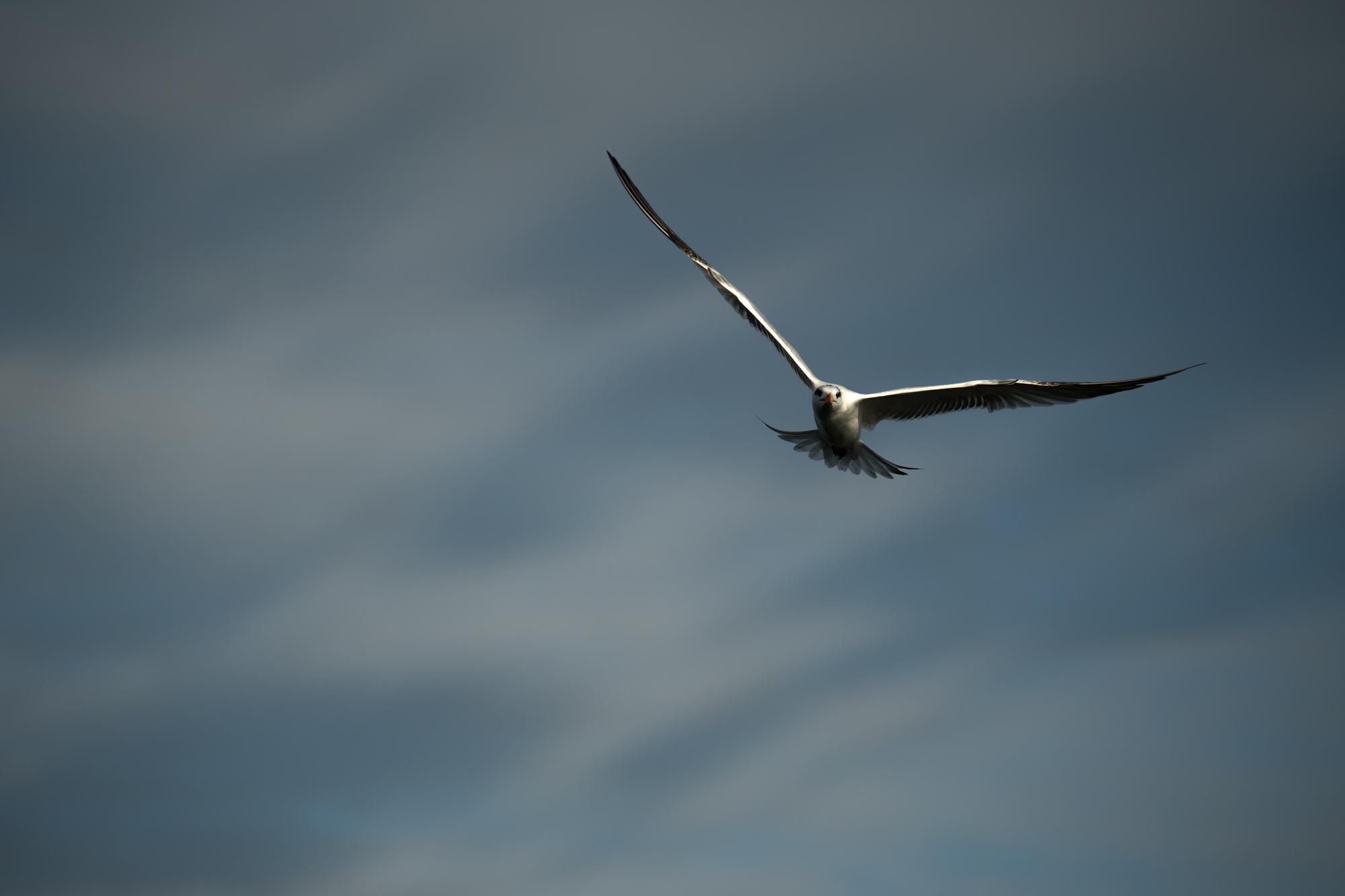 Tampa-Seagull.jpg