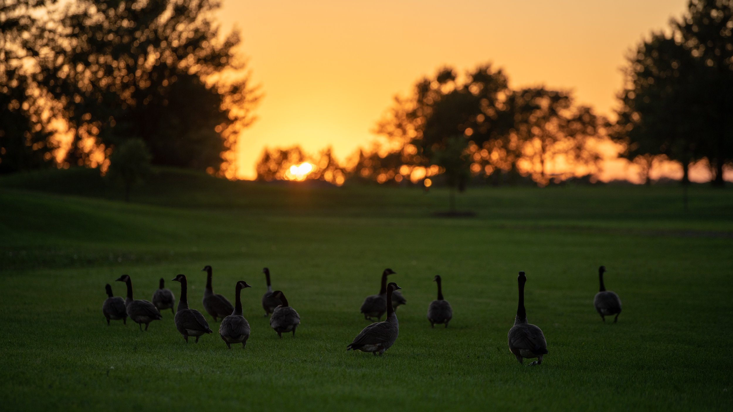 Geese Sunset (1 of 1).jpg