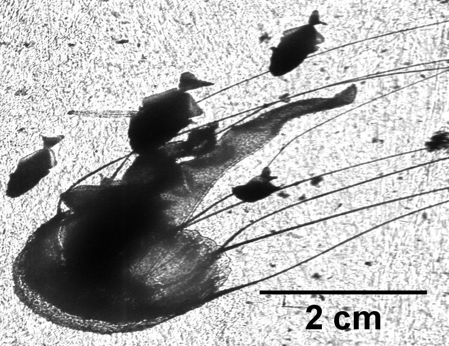 Pelagia noctiluca medusa with 4 juvenile fish