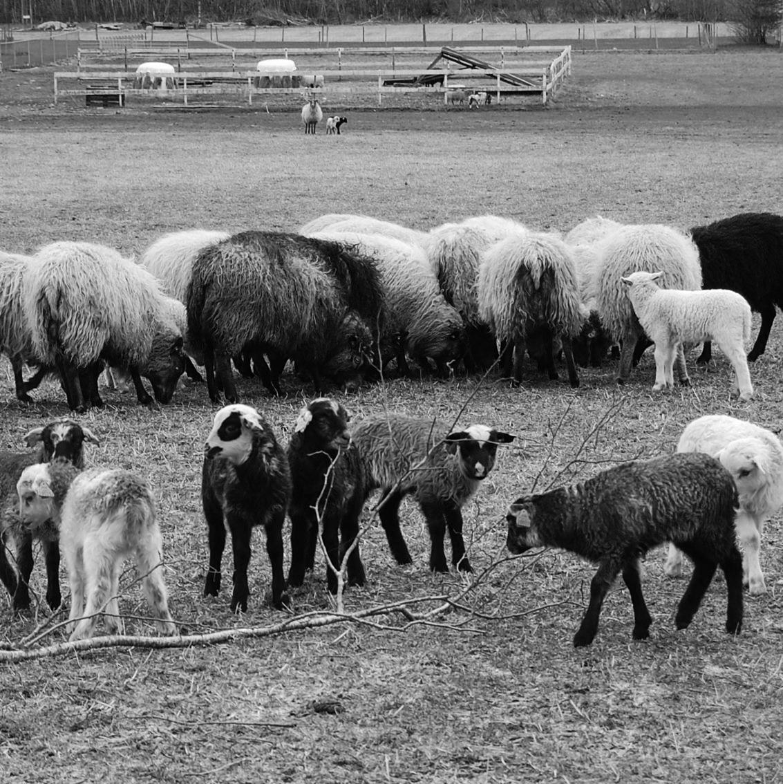 18.10.18SISTE FRIST FOR BESTILLING AV KJØT - Gjennom avtale med vårt lokale slakteri Ole Ringdal AS, får vi lammekjøt i retur no i oktober. Vi sel heile dyr som er grovpartert, og hentast heime hos oss på Tuentun. Forventa slaktevekt er 9-14 kg. Pris pr. kg er 130,-