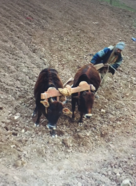 Tilling the pasture land
