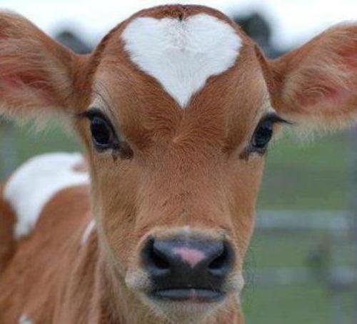 IMG_7261 sweet cow.jpg