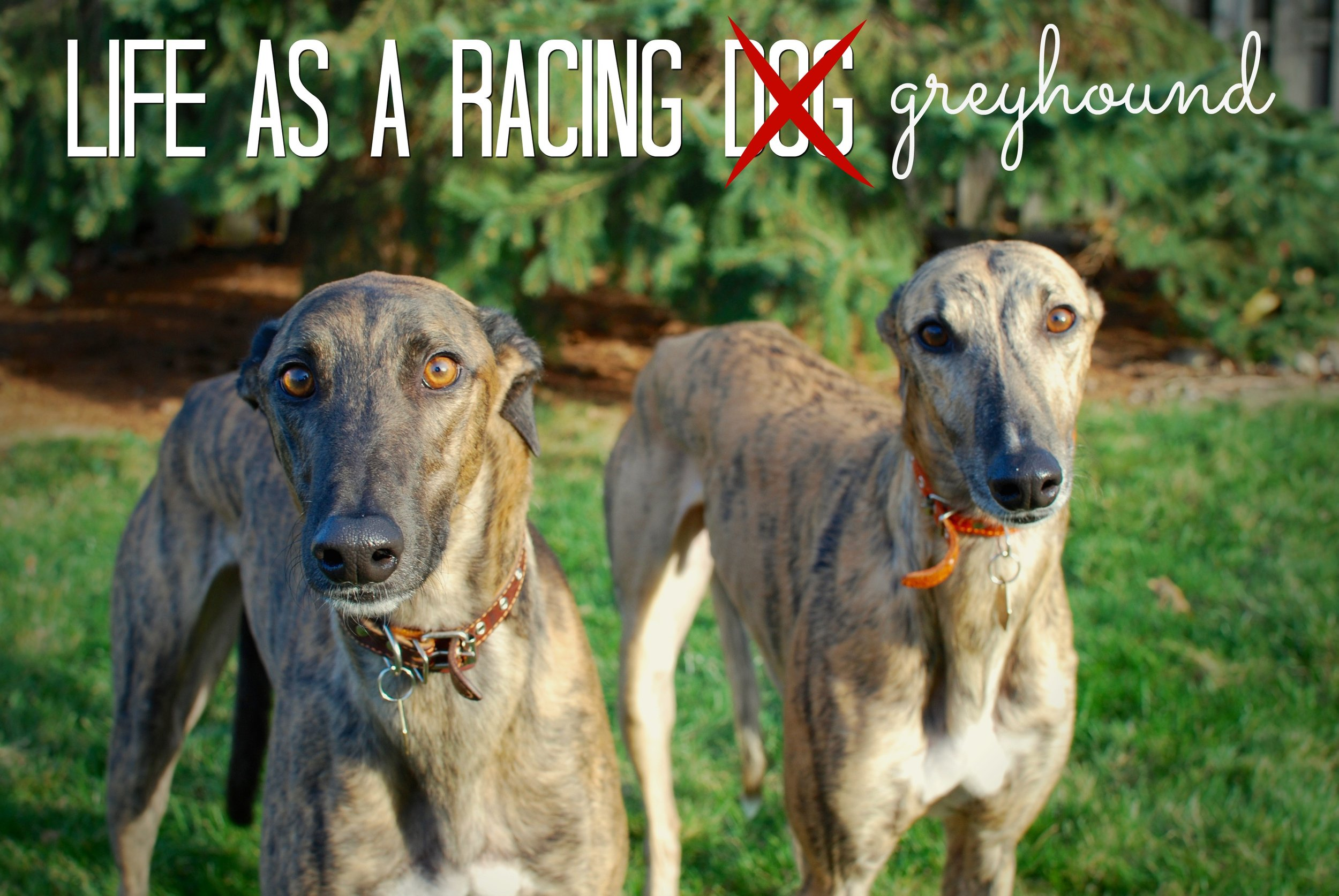 life-as-a-racing-dog-_-pin.jpg