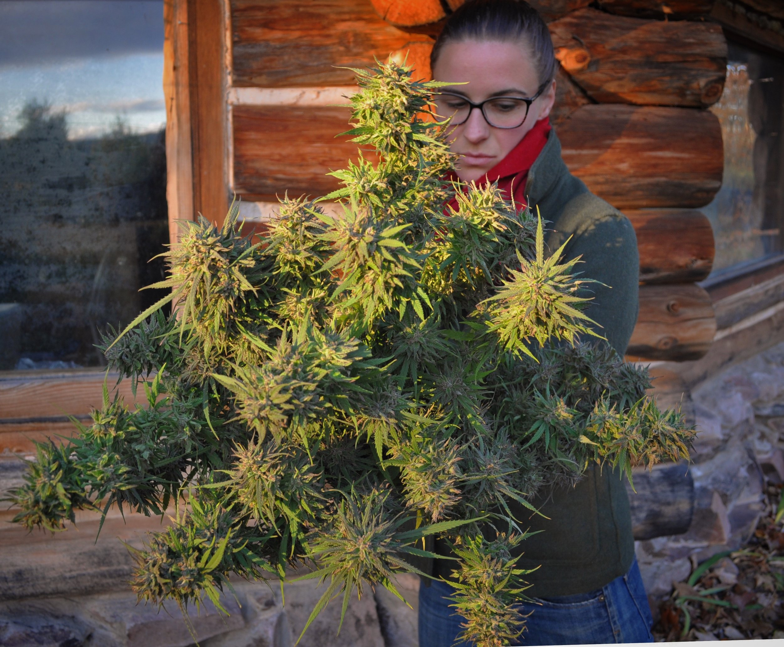 Regenerative Cannabis Cultivation Amber Joy -