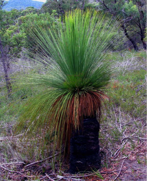 healthy grass tree.png