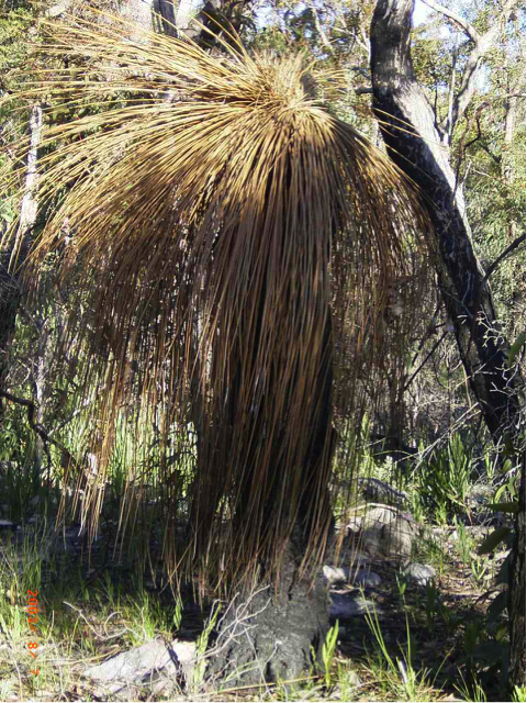 affected grass tree.png