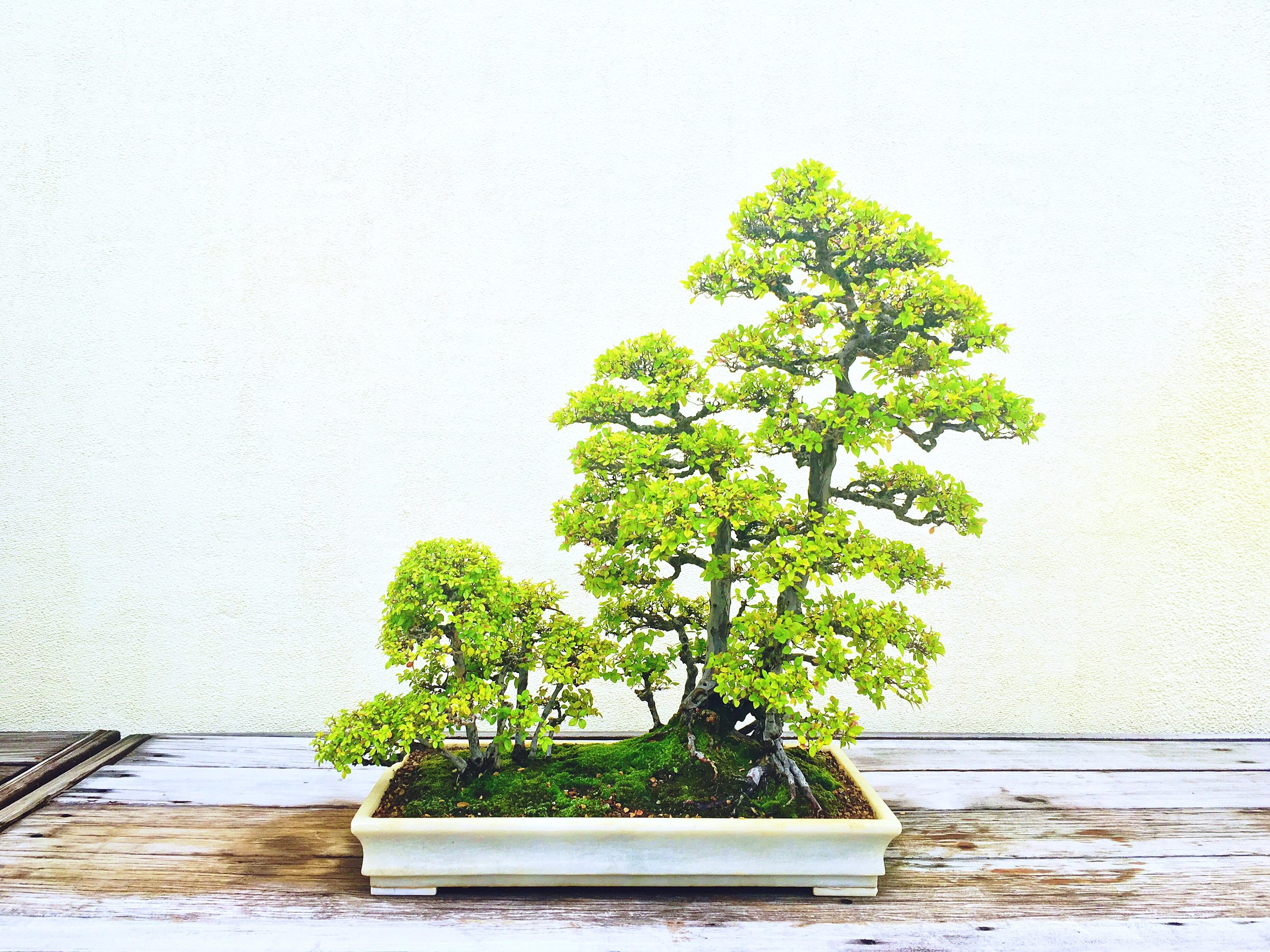 The National Bonsai Museum in Washington DC