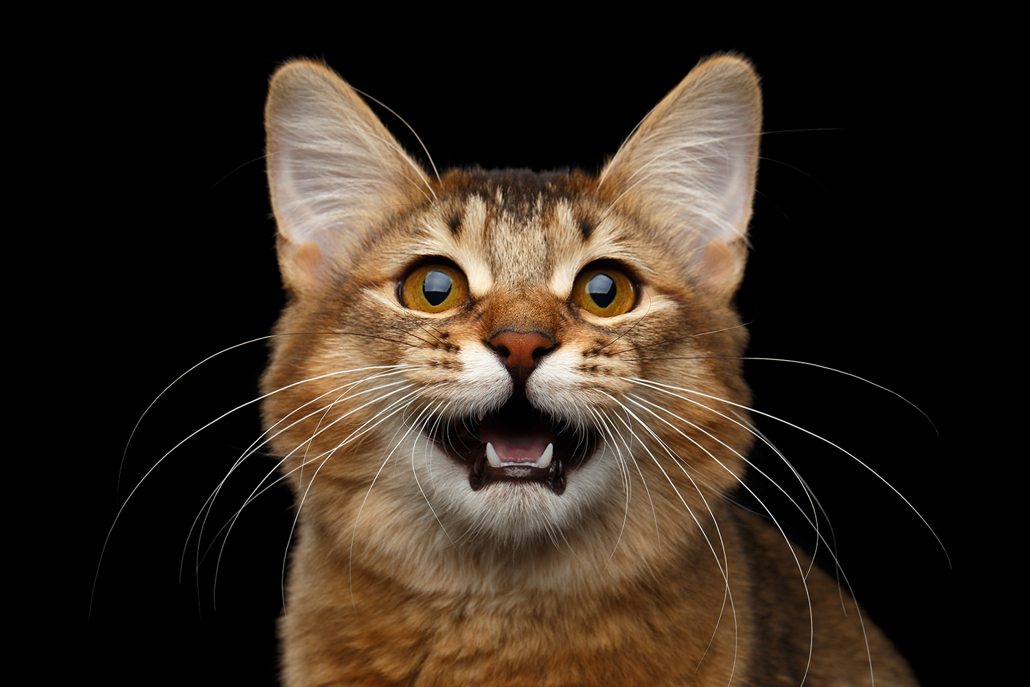 catopenmouth.png
